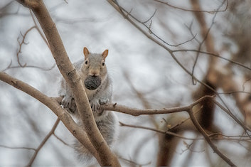 A squirrel hoarding nuts